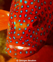 red snapper by Georges Boudron