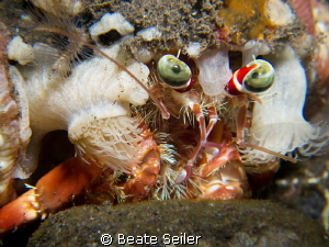 Anemone Crab on a night dive at Alam Batu Housereef by Beate Seiler