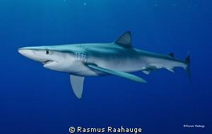 Blue shark - Azores by Rasmus Raahauge