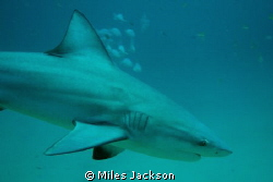 Bull Shark swims close by Miles Jackson