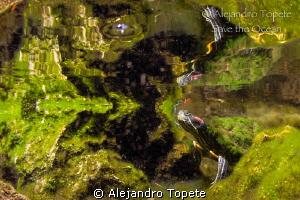 Turtle in Miror, Gran Cenote Mexico by Alejandro Topete
