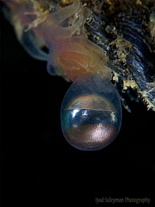 Egg of Jellyfish by Iyad Suleyman