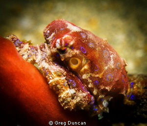 Small Blue ringed octopus taken at f7.1 @ 1/125 by Greg Duncan