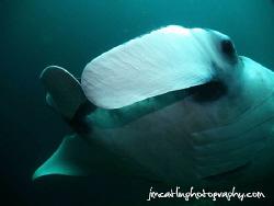 Manta ray gets inquisitive  This manta came very close ... by Jim Catlin