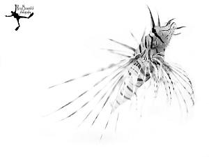 """High Key Lionfish"" Made underwater, not in Photoshop ;-... by Rico Besserdich"