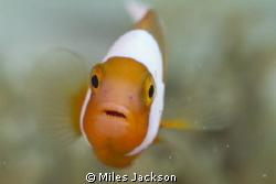 Hello Saddleback Anenomefish! by Miles Jackson