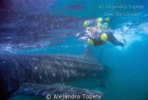 Whale shark and Diver, Holbox Mexico by Alejandro Topete