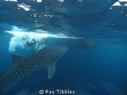 Whaleshark with Fisherman showing off and doing what he s... by Ray Tibbles