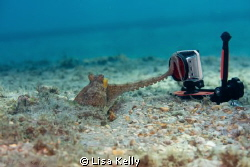This octopus was very interested in the Go-pro.  Taken wi... by Lisa Kelly