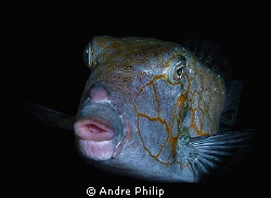 portrait of a boxfish by night by Andre Philip