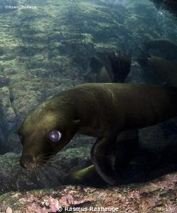 Playfull sea-lion cub by Rasmus Raahauge