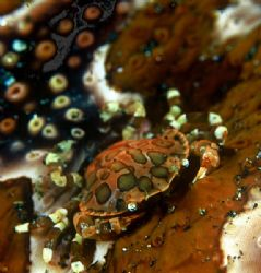 sea cucumber climber,indonesia by Gregory Grant