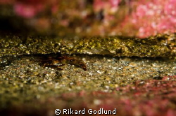 Squat Lobster by Rikard Godlund