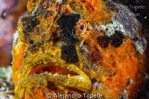Frog Fish close up, Veracruz Mexico by Alejandro Topete