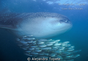 Whale Shark with Gold Fishes, Holbox Mexico by Alejandro Topete