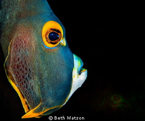 French Angelfish...Bonaire, Netherlands by Beth Watson