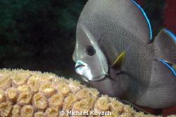 Intermediate Gray Angelfish swimming over Great Star Cora... by Michael Kovach