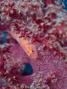 Small Blennie on a soft coral by Beate Seiler