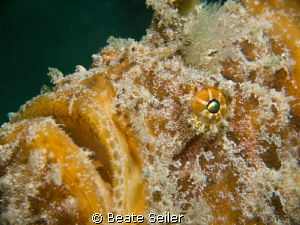 Yellow Frogfish by Beate Seiler