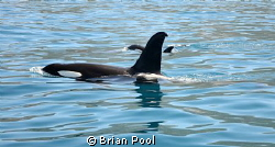 """Koru"" the New Zealand Orca with his son ""Shadow"", off Ka... by Brian Pool"