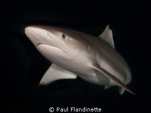 Grey Reef Shark, Carcharhinus amblyrhynchos, Maldives, Al... by Paul Flandinette