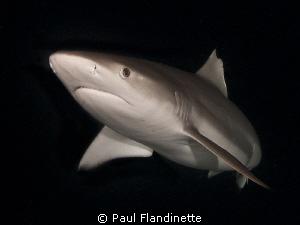 Grey Reef Shark, Carcharhinus amblyrhynchos, Maldives, Al... by Paul Flandinette