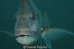 This portrait of a snapper fish was taken in the shallow ... by Daniel Poloha