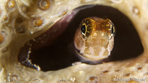 Juvenile Blenny at home.