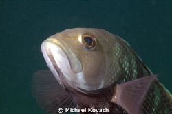 Black Sea Bass about 30 yards off the beach and a little ... by Michael Kovach