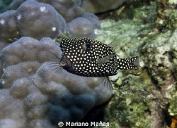 black and white boxfish by Mariano Mañas