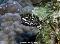 black and white boxfish by Mariano Mañas