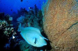 Unicornfish - Red Sea - Deep South Egypt - Nikonos v - 20... by Eduardo Lima