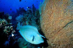 Unicornfish - Red Sea - Deep South Egypt - Nikonos v - 20... by Eduardo Lima