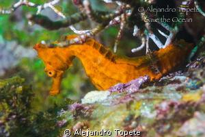 Orange Sea Horse, Acapulco Mexico by Alejandro Topete