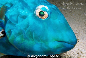 Blue Parrot fish, Cozumel Mexico by Alejandro Topete