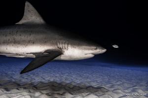Bull shark by Cyril Buchet