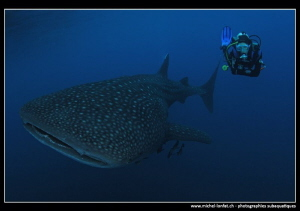 Whale Shark and Diver. by Michel Lonfat