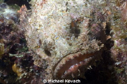 Spotted Scorpionfish on the Big Coral Knoll off the beach... by Michael Kovach