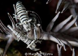 Commensal shrimp duo Nikon D80, Ikelite housing + two Ik... by Margriet Tilstra