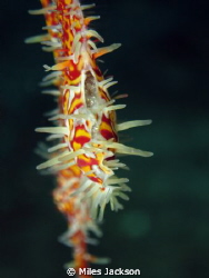 Female Ornate Ghostpipefish ventilating her eggs by Miles Jackson