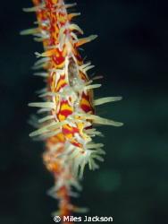 Female Ornate Ghostpipefish ventilating her eggs by Miles Jackson