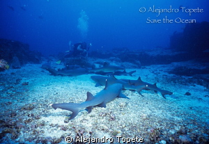 Sharks and Photographer, Isla de Coco Costa Rica by Alejandro Topete