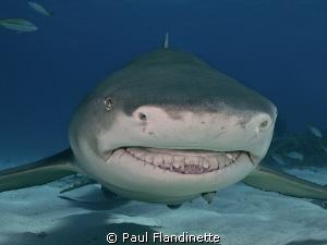 Lemon shark, Negaprion brevirostris, Tiger Beach, Bahamas; by Paul Flandinette
