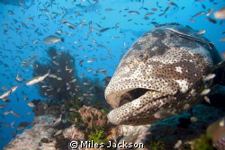 Brown Marbled Grouper poses for a second shot by Miles Jackson