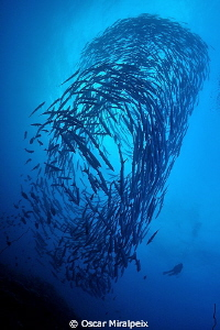 Big school of barracudas and diver in Sudan by Oscar Miralpeix