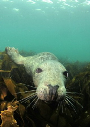 A seal at the Farn Islands by Graham Watters