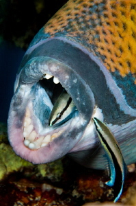 Titan Triggerfish with cleaner wrasses by Paul Colley