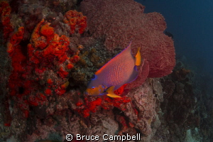 Queen angel fish at the blackjack dive site in Tobago nea... by Bruce Campbell