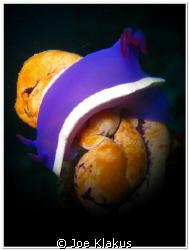 Nudi sitting on a sea squirt. Shot with Handheld Torch by Joe Klakus