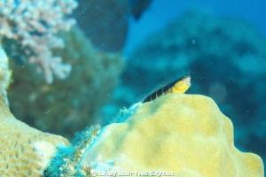 Blennie .Mauritius by Linley Jean-Yves Bignoux